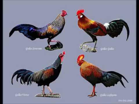Jvenes griegos, una pelea de gallos - Historias de la
