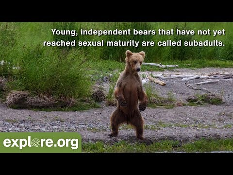five-fascinating-facts-about-brown-bear-cubs-&-subadults---never-stop-learning