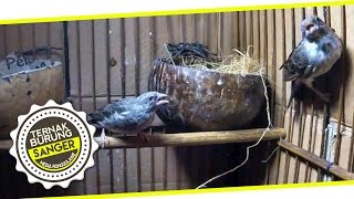 KISAH SUKSES : Ternak Kenari Sanger Bersuara Blackthroat Bersama  Pak Endi Bogor