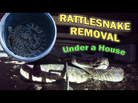 Removing Rattlesnakes from UNDER a HOUSE