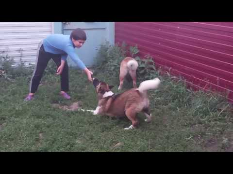 Главная ошибка при покупке щенка#Американская#Акита