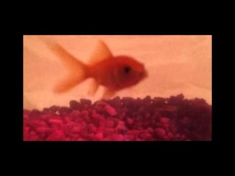 Lil Waynes Rapping Goldfish