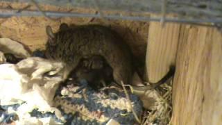 Degu giving birth 1/2