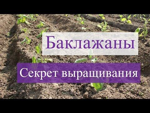 Выращивание баклажанов.В чем секрет?(28.05.2016)