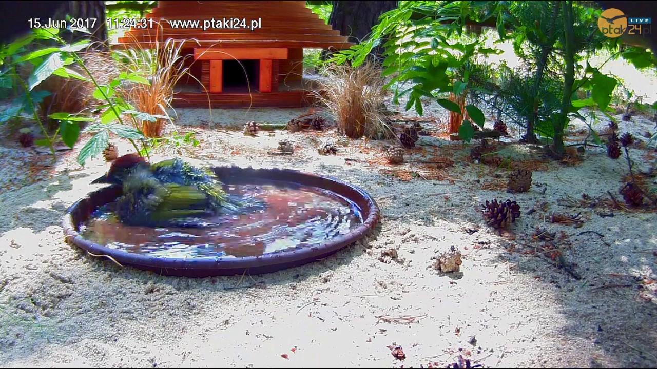 Kąpiel młodego dzięcioła zielonego w pojemniku z wodą przed domkiem dla jeży w lesie na Podkarpaciu