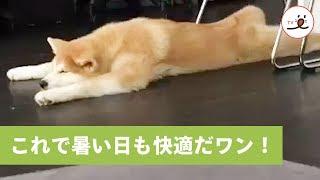 フローリングのリビングで伸び伸びとくつろぐワンコ【PECO TV】 thumbnail