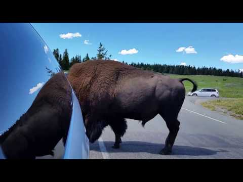 Close Encounter With Yellowstone Bison