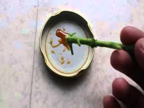 Bouturage d 39 une plante verte youtube - Hormone de bouturage ...