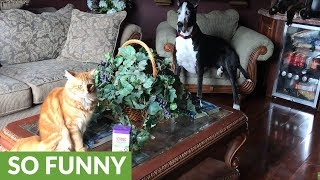 Katie the Great Dane supervises catnip fest
