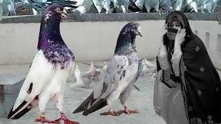 جناب ملک اسد آف لاہور (فتح گڑھ) سے شاندار کبوتروں کا شوق