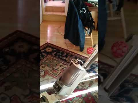 Border Terriers hunt the elusive Vacuum Monster