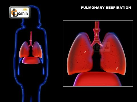 Lungs and Pulmonary respiration and ventilation in humans - Biology