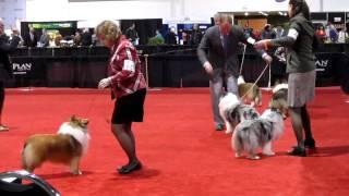 The Purina National Dog Show 2011 Sheltie