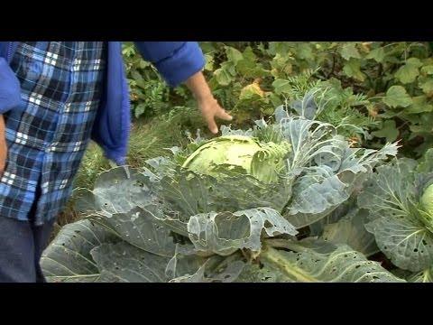 Все о выращивании капусты. УХОД ЗА ВЫСАЖЕННОЙ КАПУСТОЙ. Часть 5