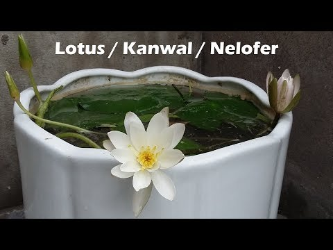 How to grow Lotus from seed | Kanwal | Nelofer | Aquatic Plants