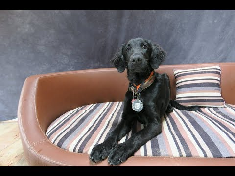 Rosa - Flatcoat Retriever Puppy - 3 Weeks Residential Dog Training