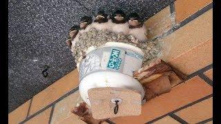 どん兵衛ハウスで暮らすツバメの雛たち!【癒される】 ツバメが巣を作る...