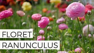 Floret Ranunculus + Many More! Complete Ranunculus Garden Tour