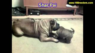 Shar Pei, Puppies, For, Sale, In, Lansing, Michigan, Mi, Oakland, Macomb, Kent, Genesee, Washtenaw,