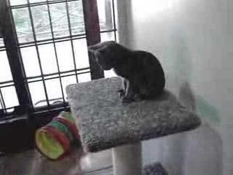 Korat kittens at play