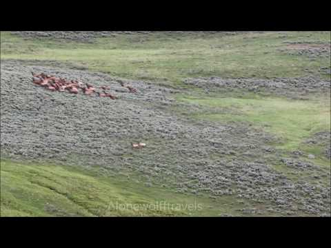 Yellowstone wolf pack hunts elk
