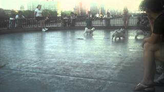 Famous New York Westie Rules The Playground