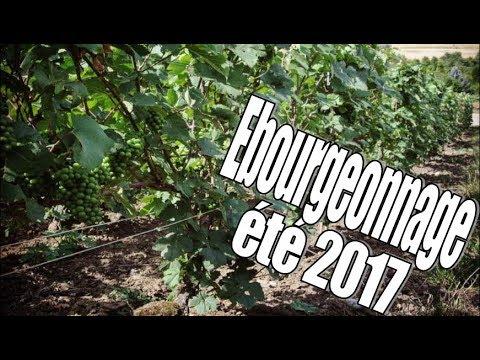 EBOURGEONNAGE ETE 2017 - CHAMPAGNE R. FAIVRE