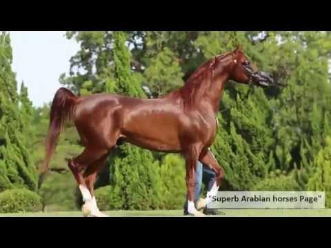 Most beautiful Arabian Stallion.