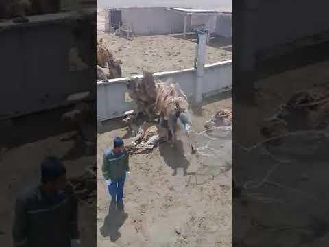 Удар верблюда
