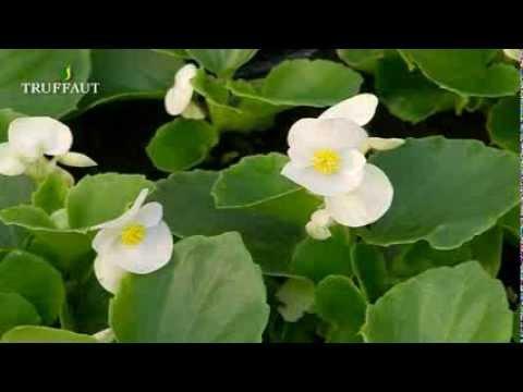 Le bégonia : variétés, plantation et entretien - Jardinerie Truffaut TV