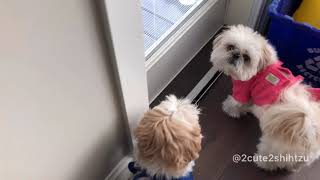 [shih tzu] ZaiZai and Momo enjoy the sun and snacks on patio
