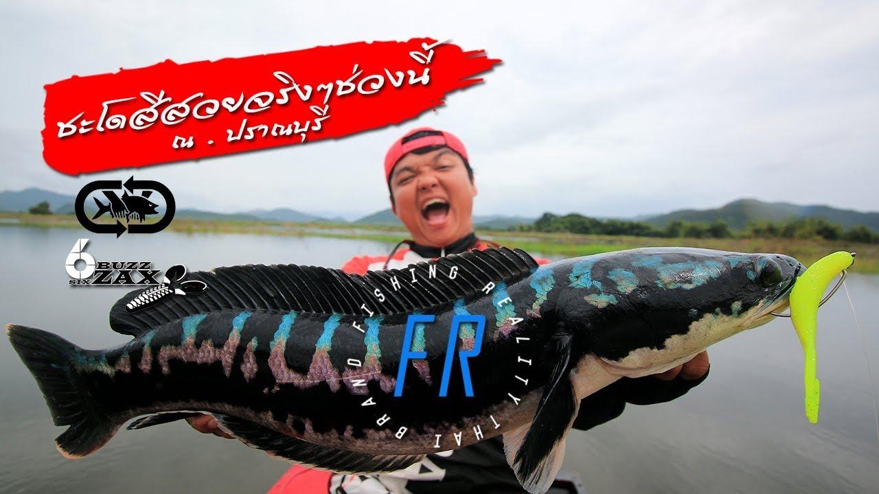 ชะโดยักษ์เล่นจนคันหัก#6ZAX fishing snakehead #ตกปลาชะโด เขื่อน ปราณบุรี