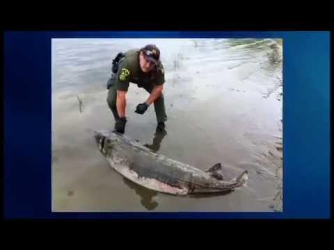 Sturgeon Found On Lake Champlain