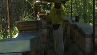 Abeilles: du bétail à miel dans les enclos des colonies humaines05