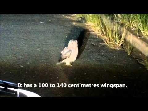 20120204 Gevlekte ooruil(Afrikaans) / Spotted eagle-owl (Bubo africanus) - Phalaborwa