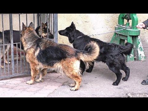 НЕМЕЦКИЕ ОВЧАРКИ питомника Аркадия Селекс.German Shepherd Dog of kennel Arcadia SELEX. Одесса.
