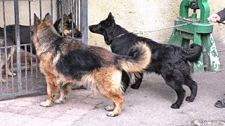 "НЕМЕЦКИЕ ОВЧАРКИ питомника ""Аркадия Селекс"".German Shepherd Dog of kennel ""Arcadia SELEX"". Одесса."