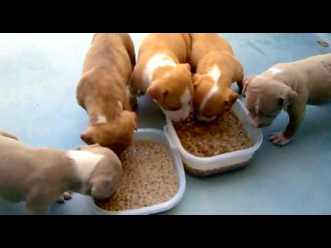 Cachorros pitbull comiendo youtube - Comida para cachorros de un mes ...