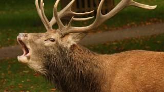 Охота на трофейного самца оленя на реву в Литве