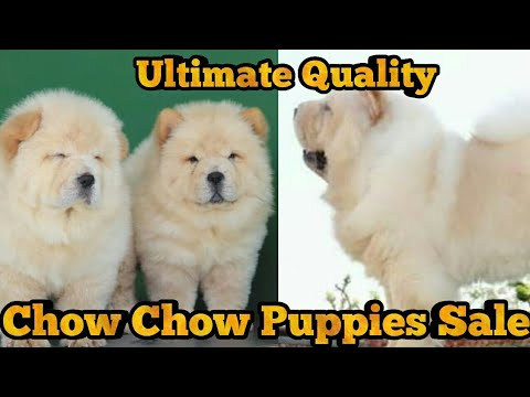 Chow Chow Female Puppies For Sale || Top Quality Chow Chow Puppies ||