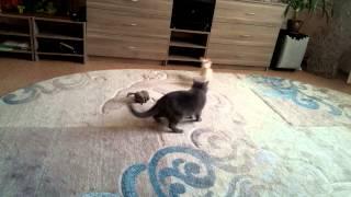 Чихуахуа  и британская  кошка