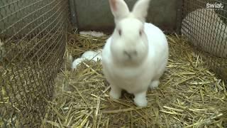 Hobbystyczne hodowle królików mają przyszłość