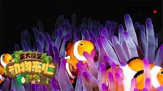 [正大综艺·动物来啦]选择题:小丑鱼在海葵中徘徊摩擦主要是为了什么?| CCTV