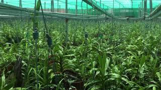 Vường quế lan hương khủng nhất Việt Nam