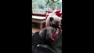 Pug Gives Staffy A Wash