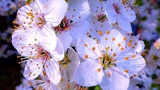 Футаж Цветущие Деревья. Футаж Весеннее Цветение Деревьев. Цветущие Деревья. Футажи для видеомонтажа