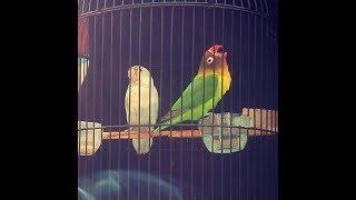 Love bird BOB MARLEY