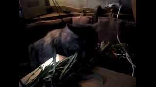 Кошка ест иван чай