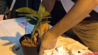 蘭花栽植(嘉德麗雅剪枝栽種)/臺南市蘭藝協會/安平樹屋蘭花教室