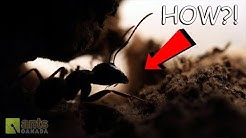 Teleporting Carpenter Ants